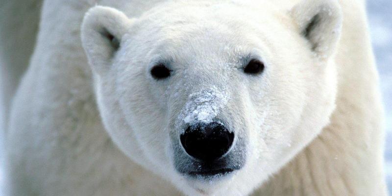 Polar Bear by flickrfavorites 3582475670 EDIT