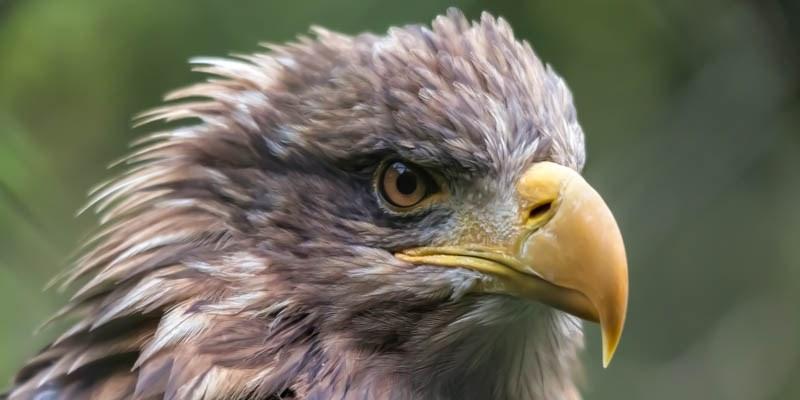 Hawk (Sea Eagle) by Philip Bird 9452482861 EDIT 2