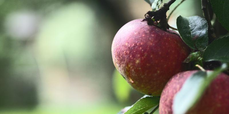 Apples by Torsten Behrens torsten-behrens 48937073071 EDIT