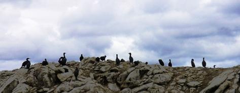 Cormorants at Point Lobos