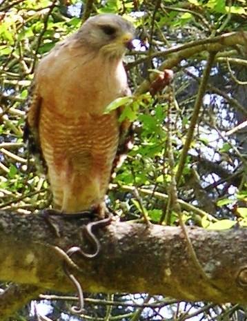 Hawk and Snake, Strybing Arboretum