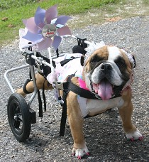 Lily in Her Wheelchair