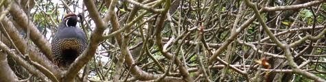 Quail in Strybing Arboretum